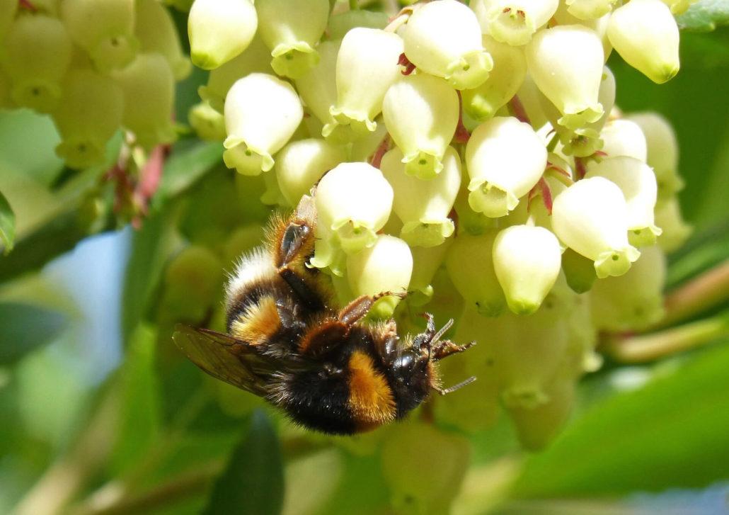 ape su fiore di corbezzolo
